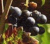 [Image: Bunch of Grapes]