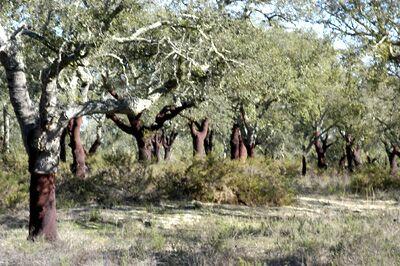 Cork forest