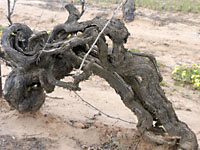 Ancient vines