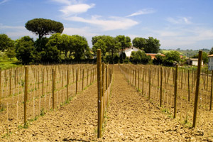 Aglianico vineyard